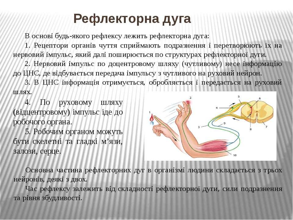 Рефлекторна дуга В основі будь-якого рефлексу лежить рефлекторна дуга: 1. Рец...