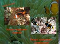 Риби-клоуни Клоун червоно-чорний Клоун оранжево-плавцевий