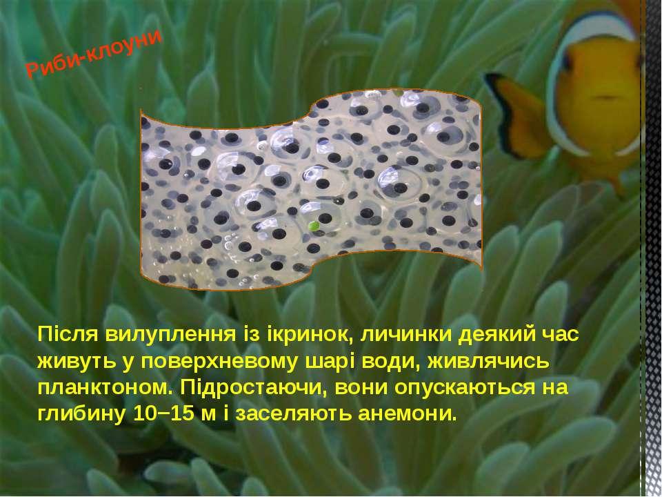 Після вилуплення із ікринок, личинки деякий час живуть у поверхневому шарі во...