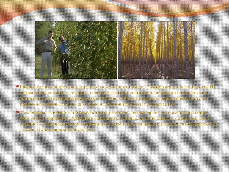Вченим вдалося вивести вид дерев, які можуть виростати до 27 метрів всього за...