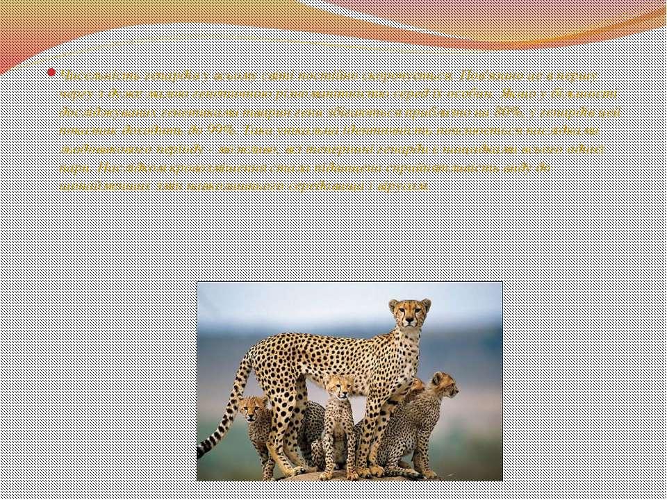 Чисельність гепардів у всьому світі постійно скорочується. Пов'язано це в пер...