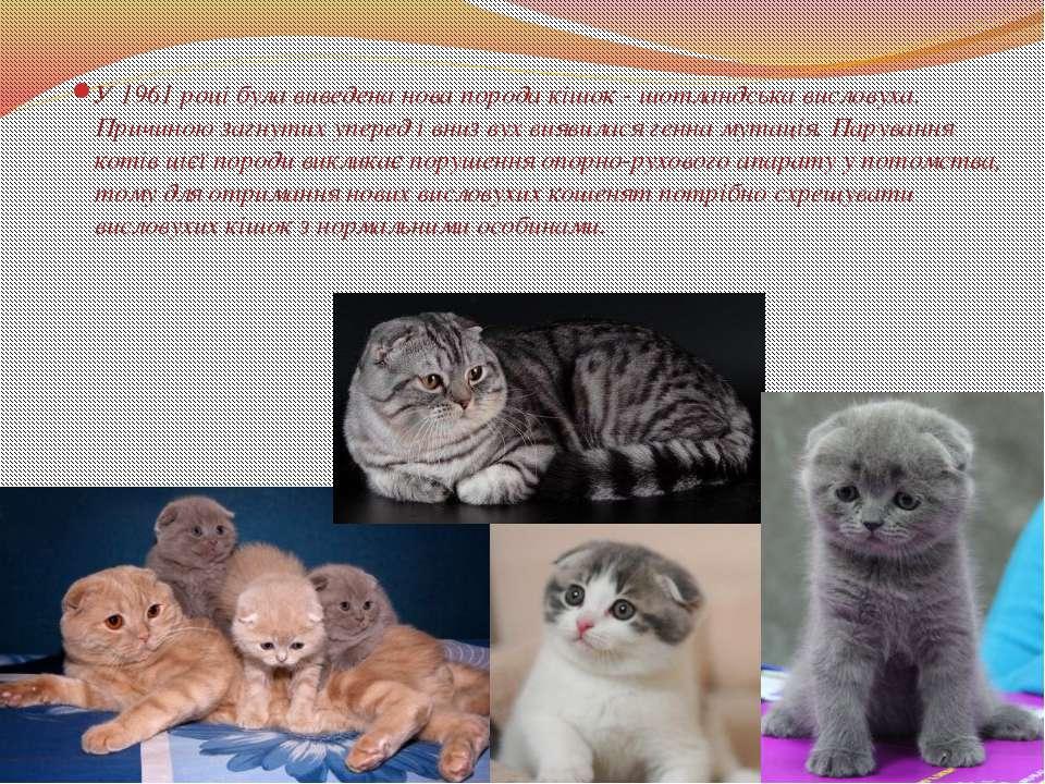 У 1961 році була виведена нова порода кішок - шотландська висловуха. Причиною...