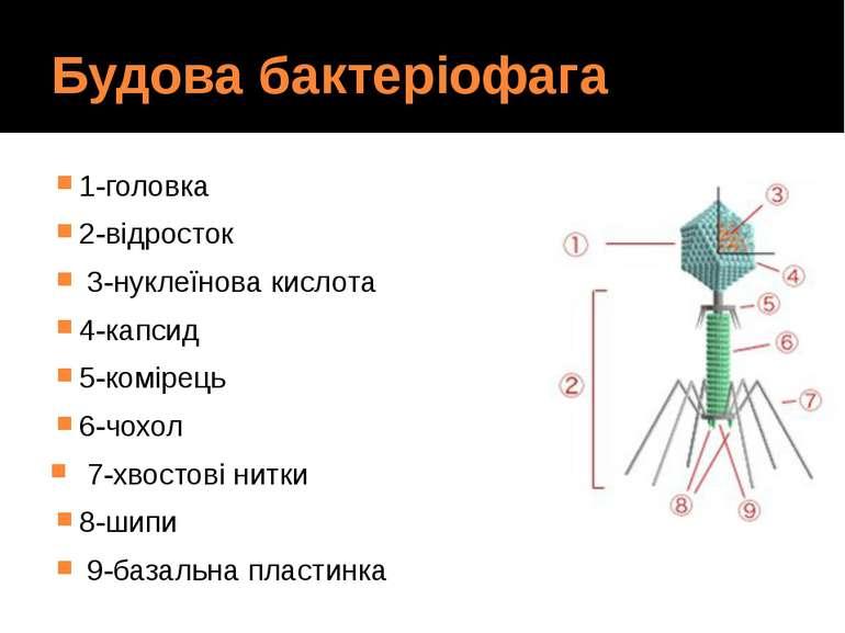 Будова бактеріофага 1-головка 2-відросток 3-нуклеїнова кислота 4-капсид 5-ком...