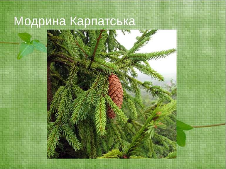 Модрина Карпатська
