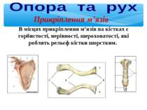 В місцях прикріплення м'язів на кістках є горбистості, нерівності, шероховато...