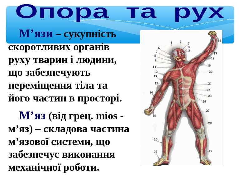 М'язи – сукупність скоротливих органів руху тварин і людини, що забезпечують ...