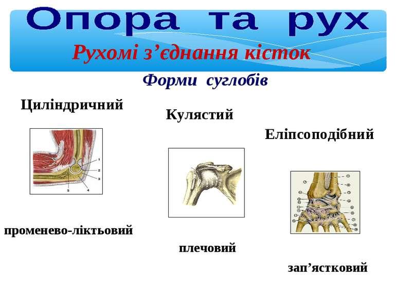 Рухомі з'єднання кісток Форми суглобів променево-ліктьовий плечовий зап'ястко...