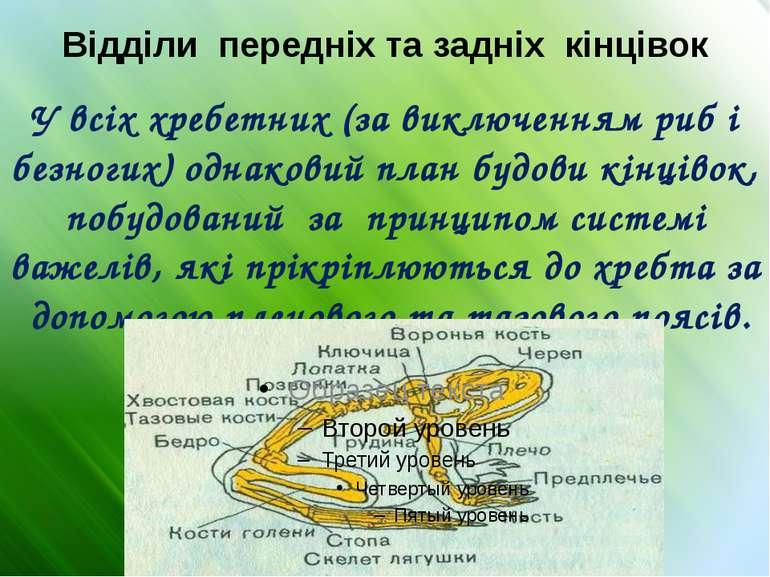 Відділи передніх та задніх кінцівок У всіх хребетних (за виключенням риб і бе...