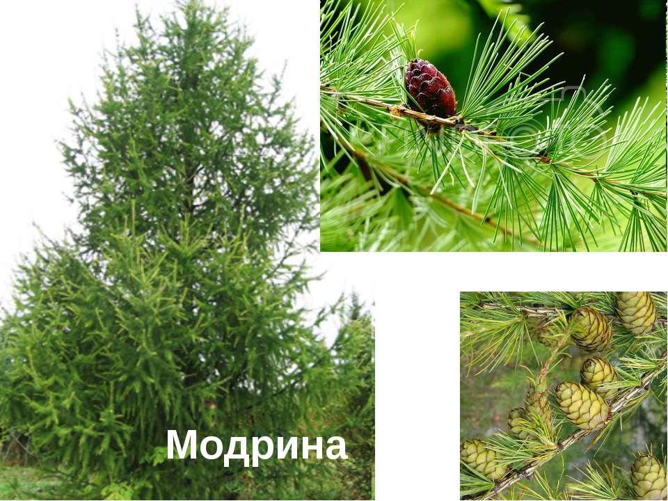 Модрина