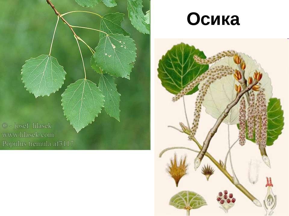 Осика