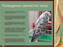 Розведення хвилястих папуг Прихильність закріплюється на все життя, розлучити...