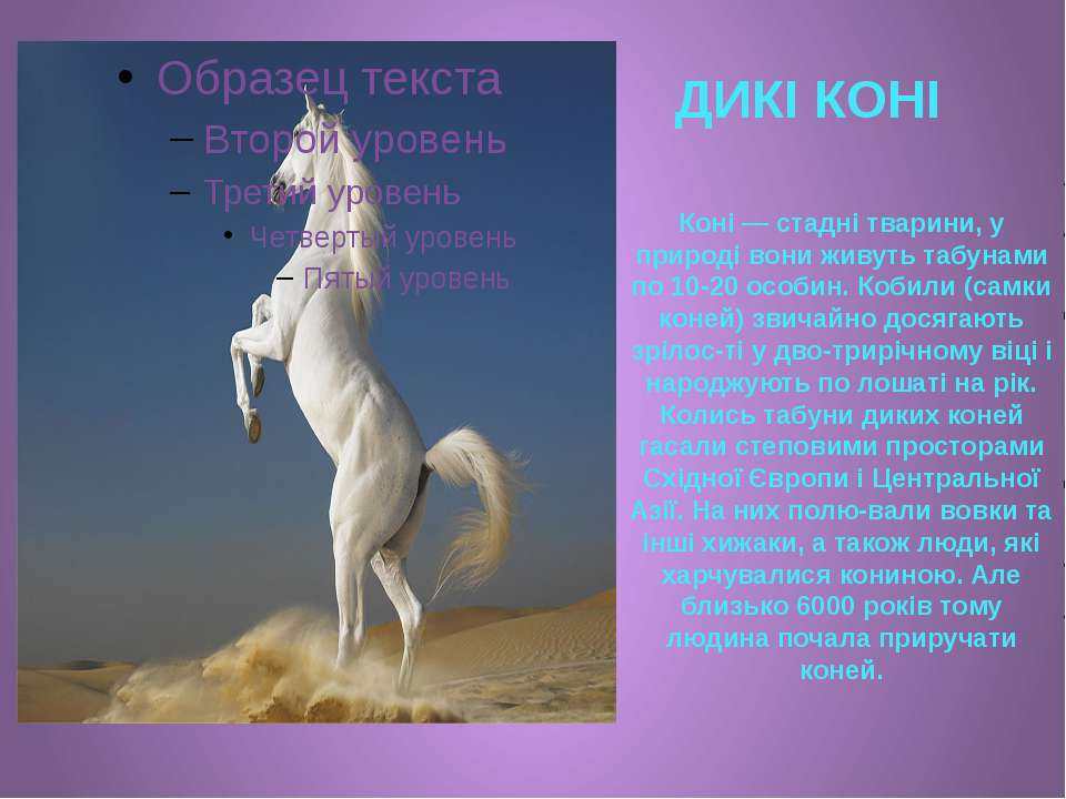ДИКІ КОНІ Коні — стадні тварини, у природі вони живуть табунами по 10-20 особ...