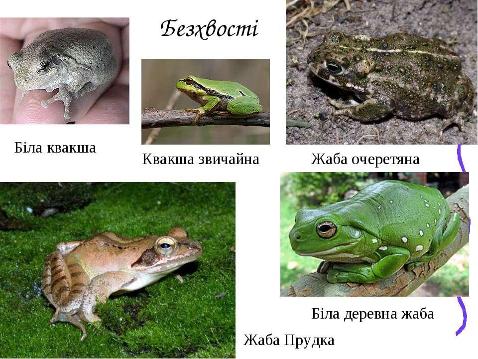Безхвості Жаба очеретяна Жаба Прудка Біла деревна жаба Біла квакша Квакша зви...