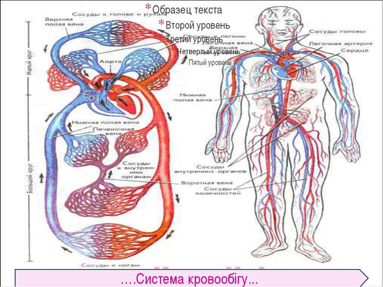 ….Система кровообiгу...