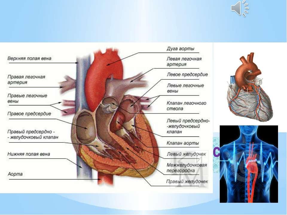 Будова серця Серце…