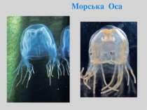 Морська Оса