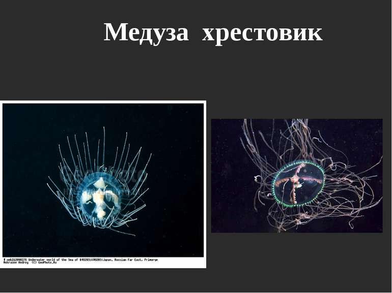 Медуза хрестовик