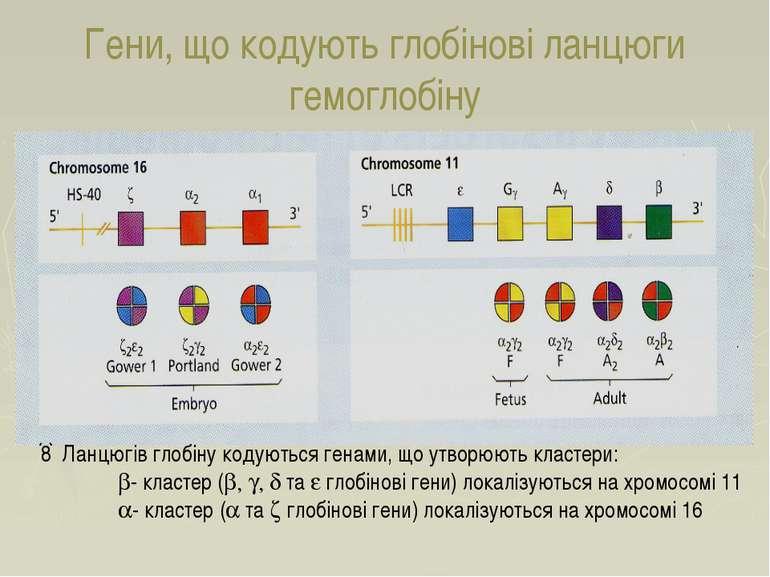 Гени, що кодують глобінові ланцюги гемоглобіну 8 Ланцюгів глобіну кодуються г...