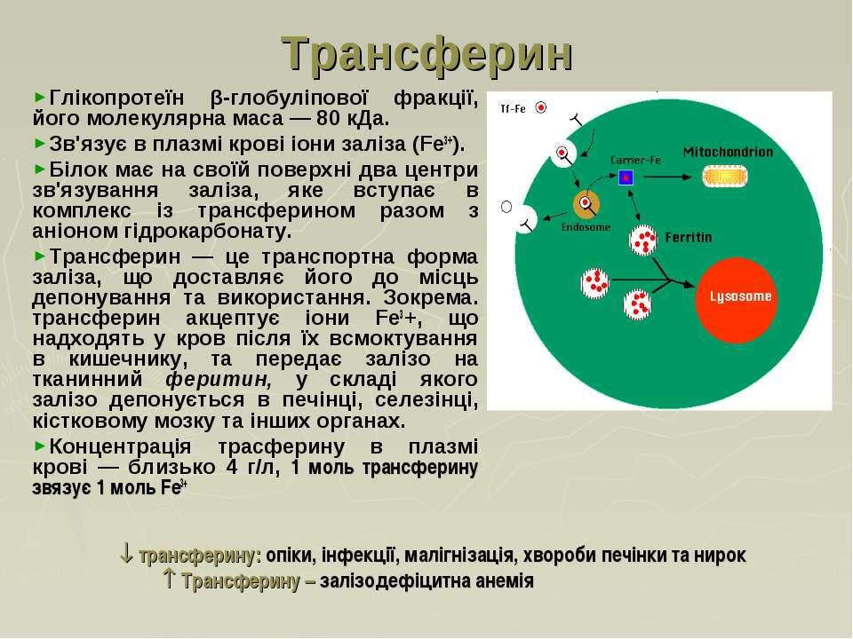 Трансферин Глікопротеїн β-глобуліпової фракції, його молекулярна маса — 80 кД...