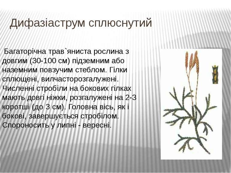 Дифазіаструм сплюснутий Багаторічна трав`яниста рослина з довгим (30-100 см)...