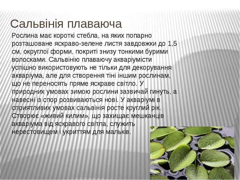 Сальвінія плаваюча Рослина має короткі стебла, на яких попарно розташоване яс...