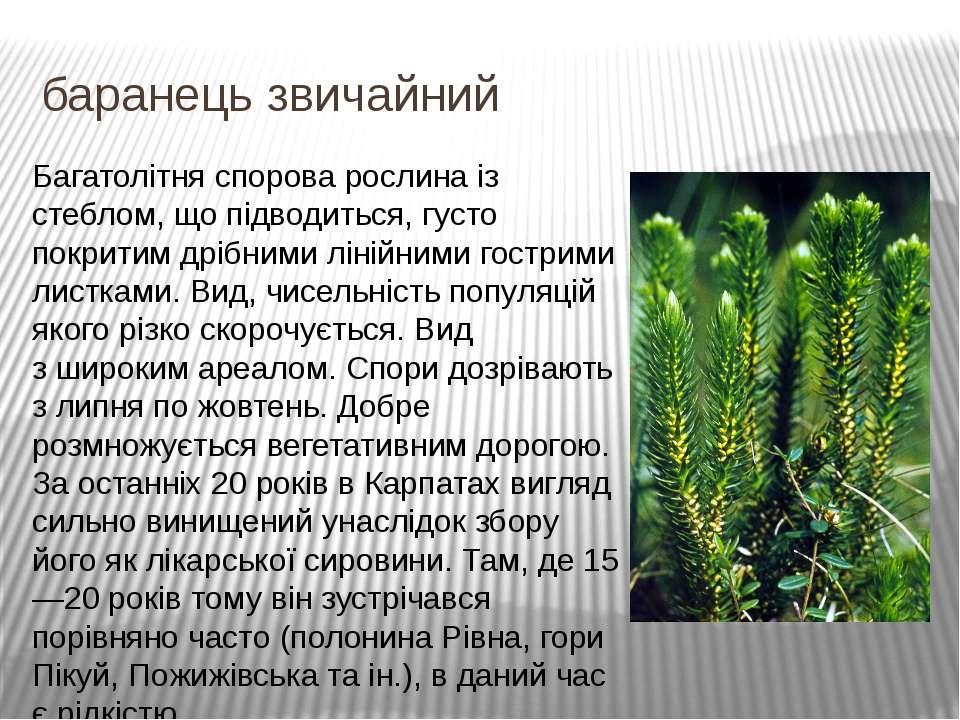 баранець звичайний Багатолітня спорова рослина із стеблом, що підводиться, гу...