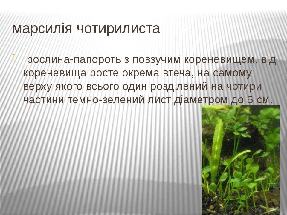 марсилія чотирилиста рослина-папороть з повзучим кореневищем, від кореневища...