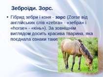 Гібрид зебри і коня - зорс (Zorse від англійських слів «zebra» - «зебра» і «h...