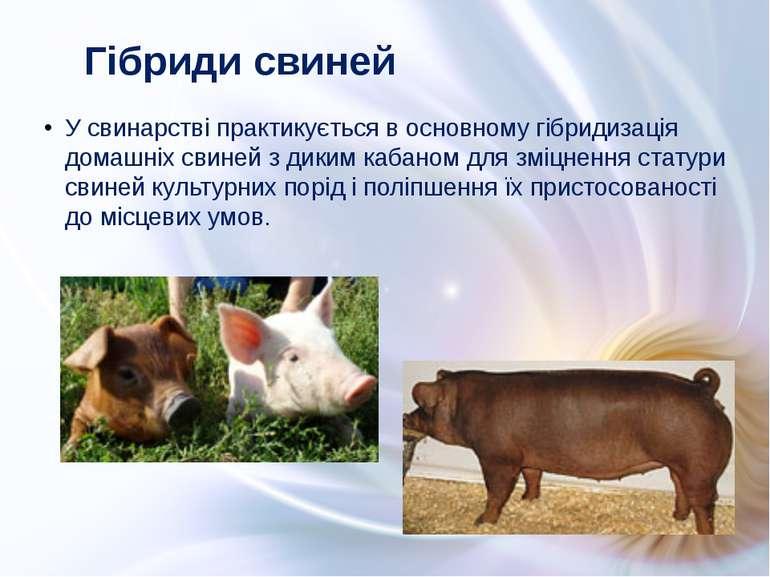 У свинарстві практикується в основному гібридизація домашніх свиней з диким к...