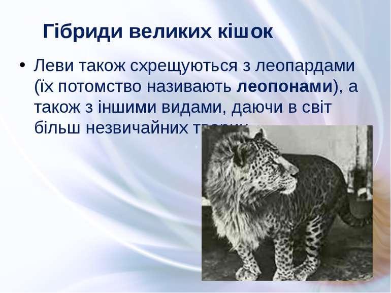 Леви також схрещуються з леопардами (їх потомство називають леопонами), а так...