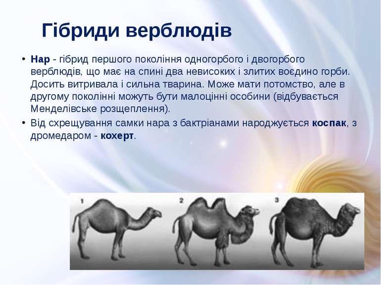Нар - гібрид першого покоління одногорбого і двогорбого верблюдів, що має на ...