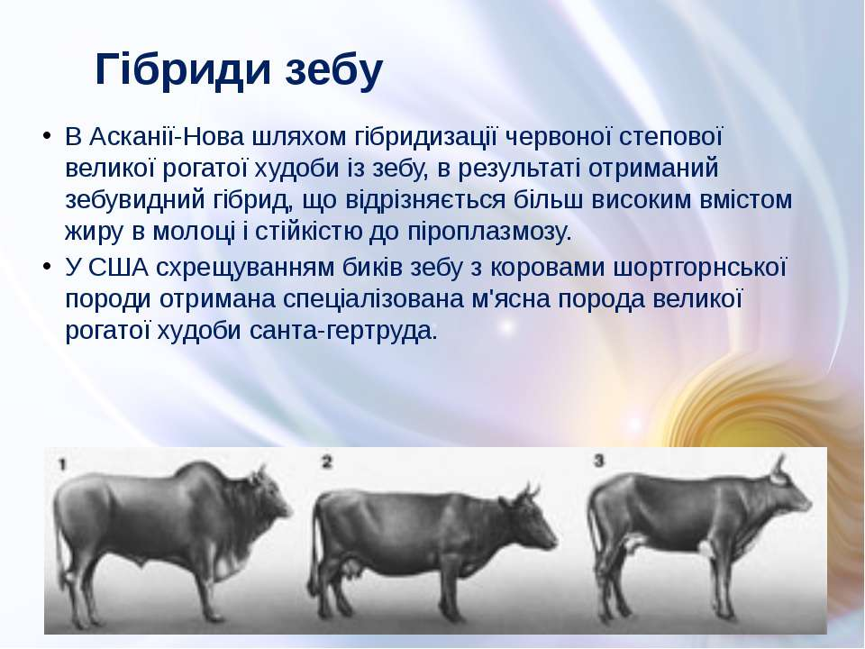 В Асканії-Нова шляхом гібридизації червоної степової великої рогатої худоби і...