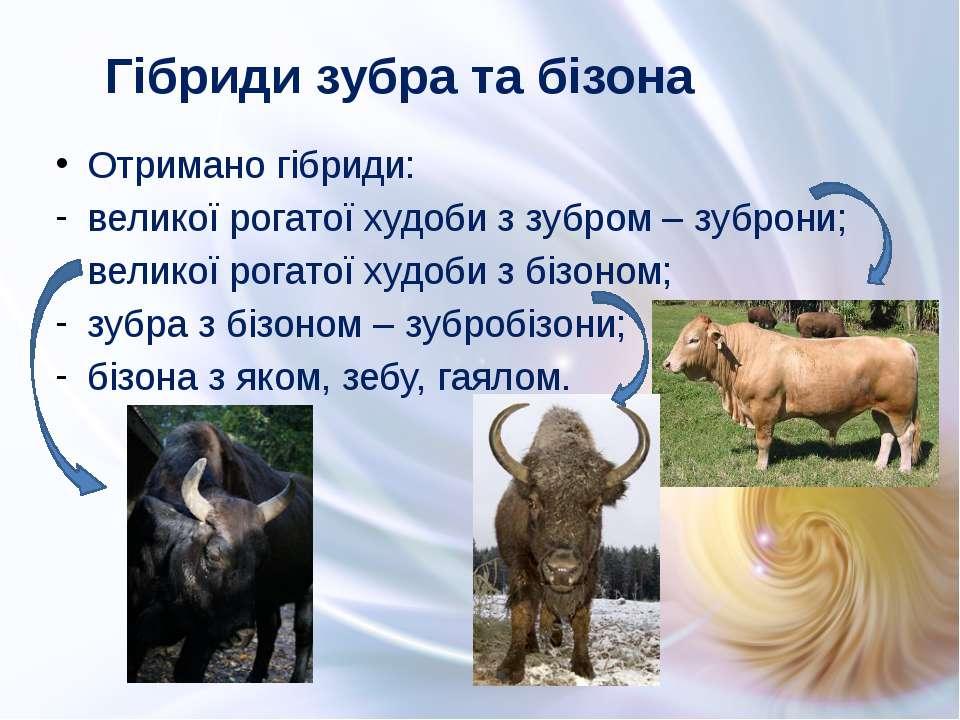 Отримано гібриди: великої рогатої худоби з зубром – зуброни; великої рогатої ...