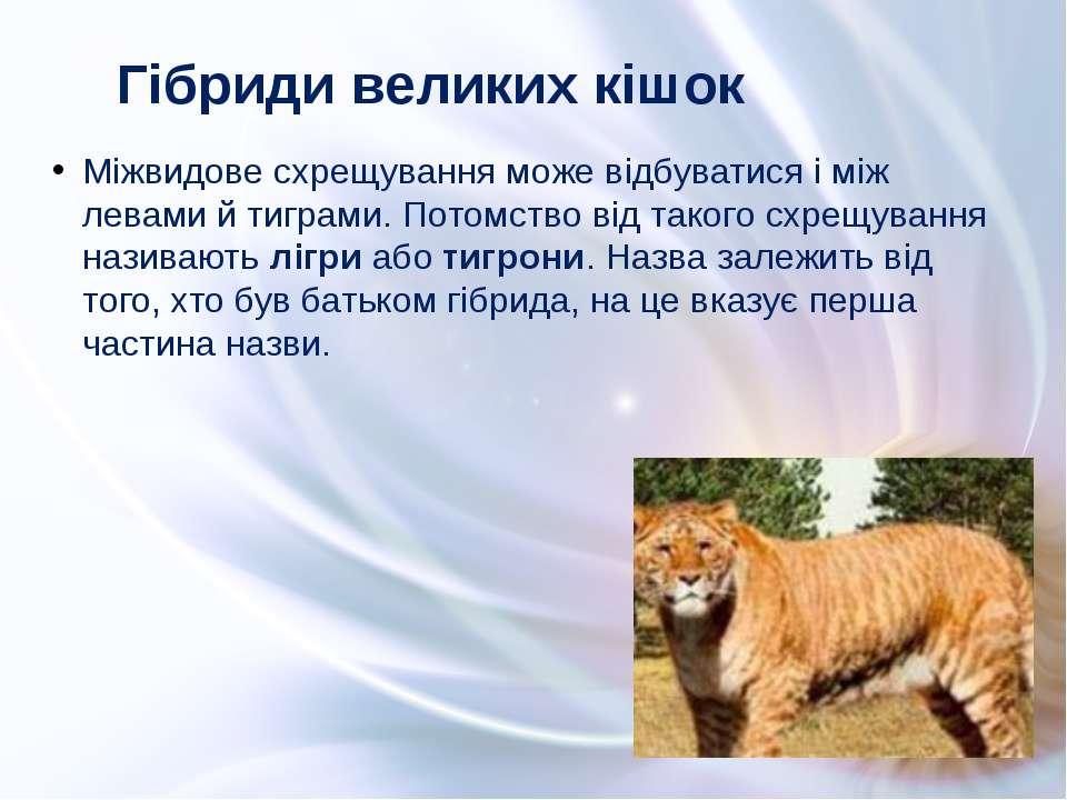 Міжвидове схрещування може відбуватися і між левами й тиграми. Потомство від ...