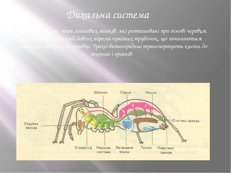 Дихальна система Органи дихання - пара легеневих мішків, які розташовані при ...