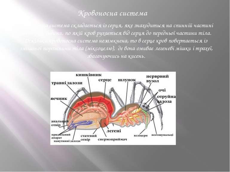 Кровоносна система складається із серця, яке знаходиться на спинній частині ч...