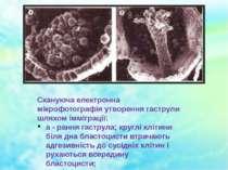 Скануюча електронна мікрофотографія утворення гаструли шляхом імміграції: а -...