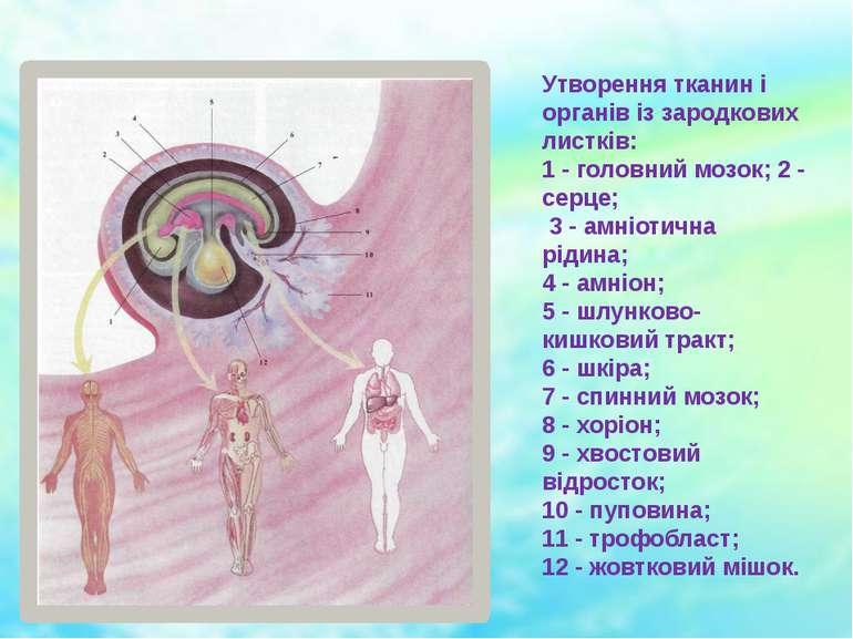Утворення тканин і органів із зародкових листків: 1 - головний мозок; 2 - сер...