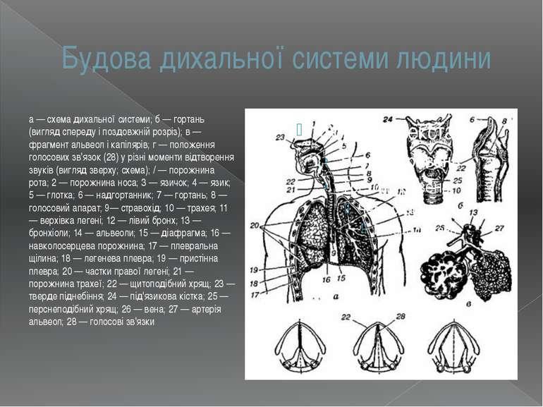Будова дихальної системи людини а — схема дихальної системи; б — гортань (виг...