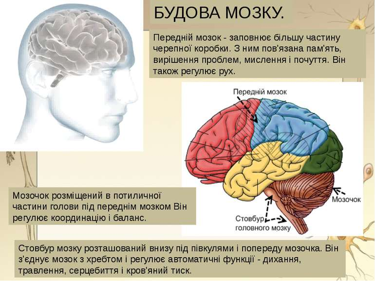 Мозочок розміщений в потиличної частини голови під переднім мозком Він регулю...
