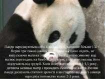 Панди народжуються сліпі й майже голі, вагою не більше 150 г. Перші три тижні...