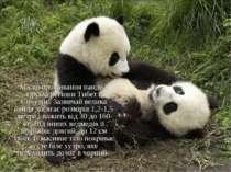 Місце проживання панди - гірські регіони Тибет і Сичуань. Зазвичай велика пан...