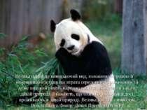 Велика панда це вимираючий вид, головною загрозою її виживанню є подальша втр...