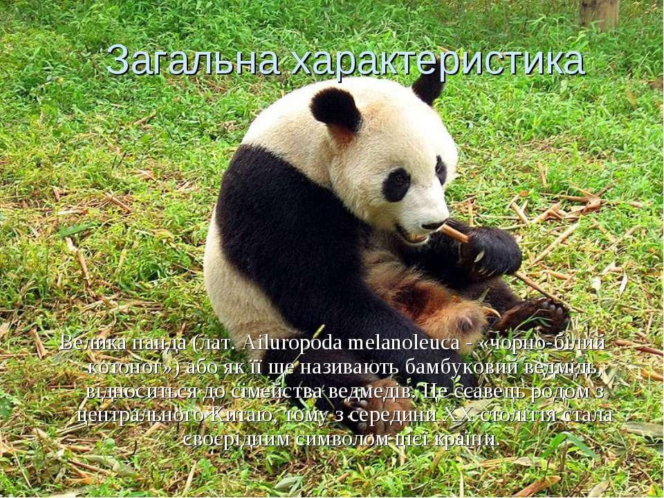 Загальна характеристика Велика панда (лат. Ailuropoda melanoleuca - «чорно-бі...