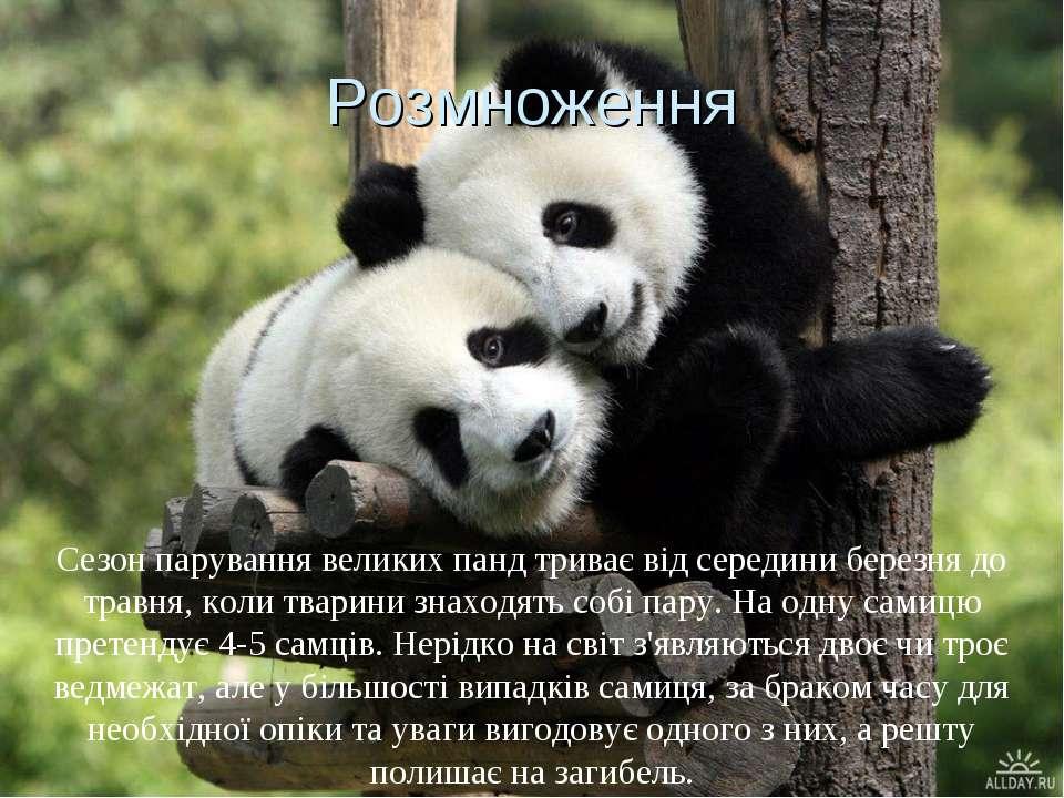 Розмноження Сезон парування великих панд триває від середини березня до травн...