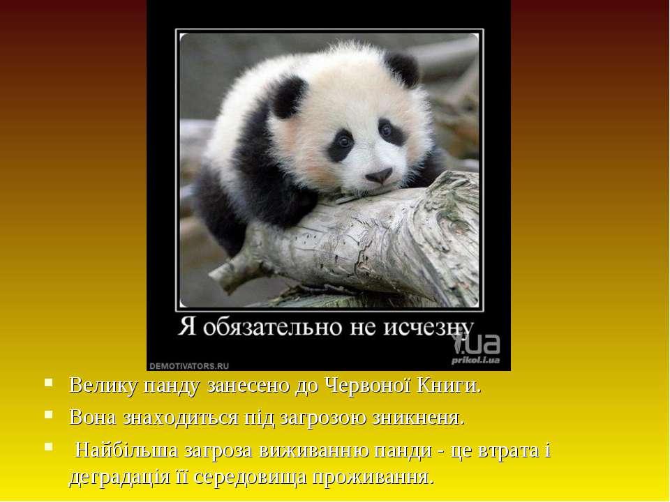Велику панду занесено до Червоної Книги. Вона знаходиться під загрозою зникне...
