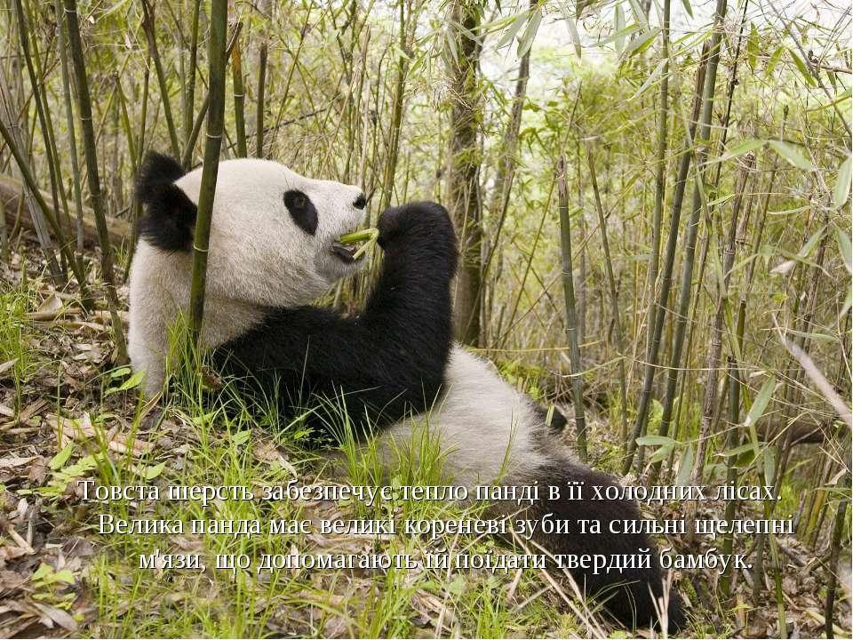 Товста шерсть забезпечує тепло панді в її холодних лісах. Велика панда має ве...