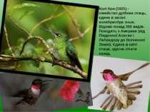 Колі бри (1825) - сімейство дрібних птиць, єдине в загоні колибриобра зных. В...