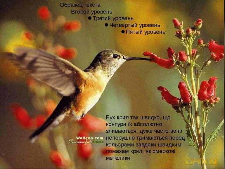 Рух крил так швидко, що контури їх абсолютно зливаються; дуже часто вони непо...