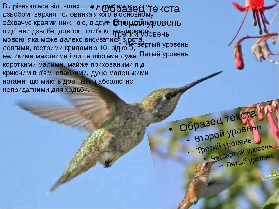 Відрізняються від інших птиць довгим тонким дзьобом, верхня половинка якого в...